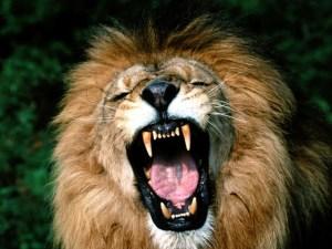a-lion-roars